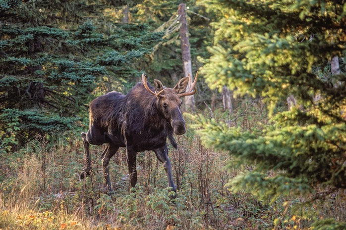 Moose young bull IR WEB
