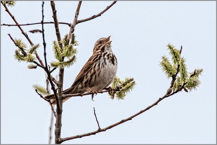 Song Sparrow 7394 WEB